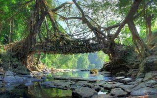 Архитектура: Корни фикуса и 15 лет ожидания: как в Индии «строят» живые подвесные мосты